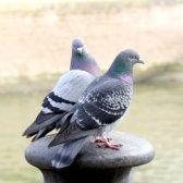 Як позбутися від голубів