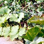 Як вирощувати патисони