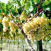 Як вирощувати виноград