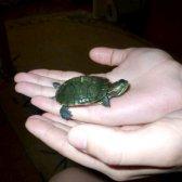 Як розводити черепах