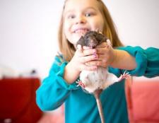 Як грати з щуром