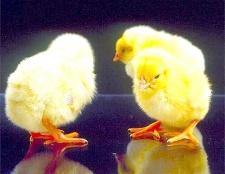 Як годувати курчат
