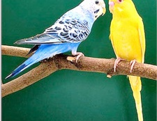 Як годувати хвилястого папугу