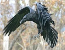 Як відрізнити ворона від ворони