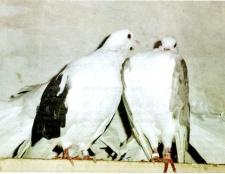 Як віднадити голубів
