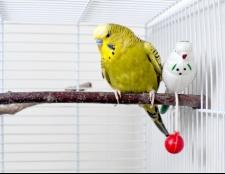 Як приручити папугу