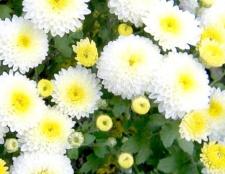 Як укоренити хризантеми
