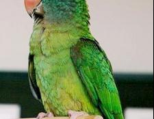 Як дізнатися, що з папугою
