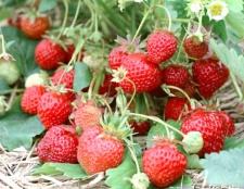 Як виростити розсаду полуниці з насіння