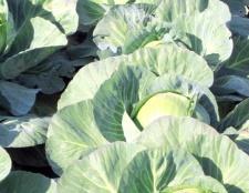 Як посадити капусту