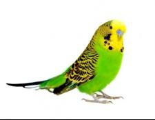 Як вибрати папугу