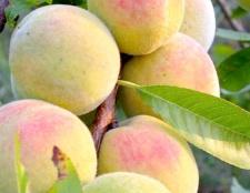 Як посадити персик