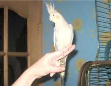 Як навчіті Папуга сідаті на руку