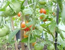 Як виростити помідори у відкритому грунті